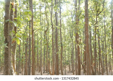 Sal forest state in jharkhand
