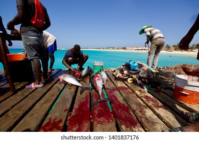 SAL ISLAND, CAPE VERDE - APRIL 2019: Fishermen taking out the interiors and cleaning the tunas just fished on the Santa Maria pier, Sal island, Cape Verde