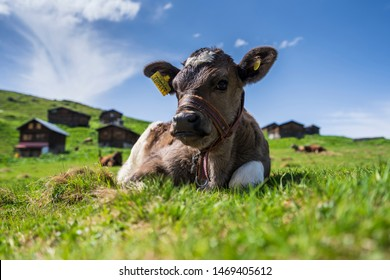 """Sal Plateau, Rize / Turkey - June 2, 2019: Cow is sitting on lush grass at the beautiful """"Sal Plateau"""" on a sunny day as """"The Festival of the Sacrifice (called Eid al-Adha)"""" approaches."""