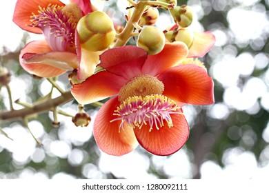 Sal, Sakhuwan, Sal Tree, Indian Land, Religiosa, Pink and Yellow Flowers, Red, Inner Purple