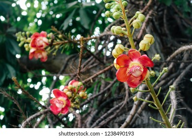 Sal or Shal or Sakhuwan or Sal Tree or Sal of India or Religiosa