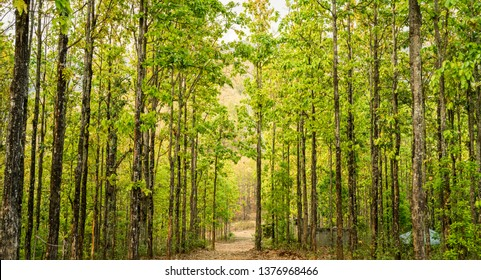 Sal trees in a forest in Hetauda, Nepal. Sal is also known as Shorea Robusta, tropical trees found in hot and humid plains and the lower hilly regions of South Asia.