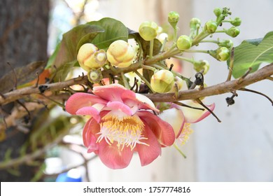 Sala or Cannonball flower ,Sala or Cannonball flower (Couroupita guianensis), Sakhuwan,Sal Tree, Sal of India,Close up beautiful flower cannonball flower or Sal flower,Selective focus, Blur background