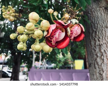 Sala flora or Shorea robusta flower on Cannonball Tree and the sal tree is revered by many Buddhist people around the world.