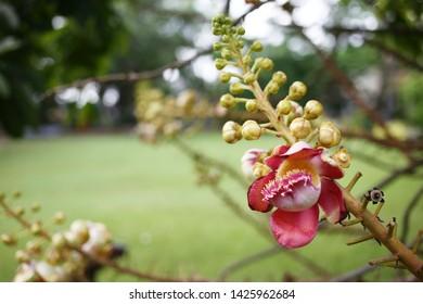 Sala flower - Shorea Robusta flower