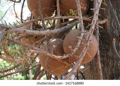 Sala fruits on the tree