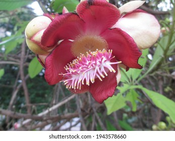 Sala (scientific name: Shorea robusta) is a plant in the family. Dipterocarpaceae It is a sacred wood in Hinduism. Pink Sala flower It's a historic flower.