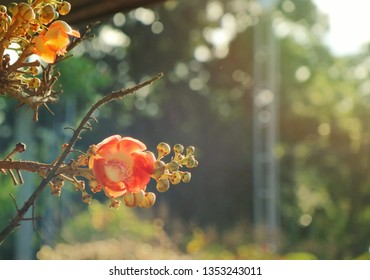 Sala tree with bloom  flower in the morning. Sala is a flower of Buddha. Selective focus with blurred background.