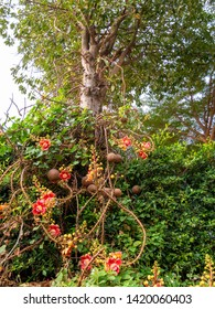 sala tree with a lot of flowers and fruits in the garden