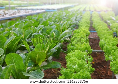 Salad crop feed in hydroponics system farm for agriculture and vegetarian concept