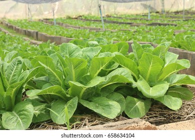 salad green cos Lettuce. organic Vegetable growing farm for background