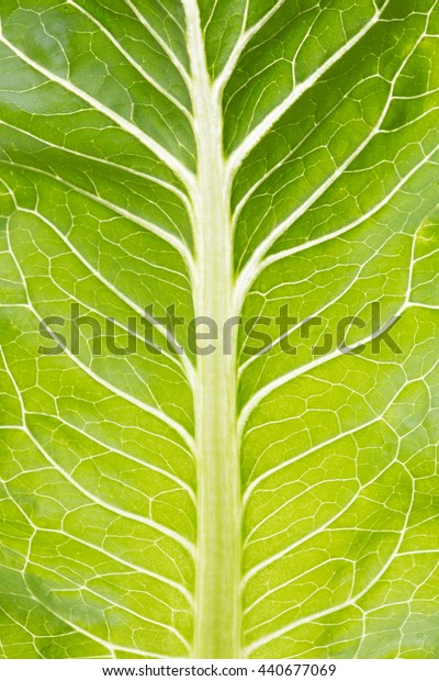 Salad leaf close up. Green rocket back lit.