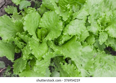 Salad leaves with Green Oak,  Red Leaf Lettuce