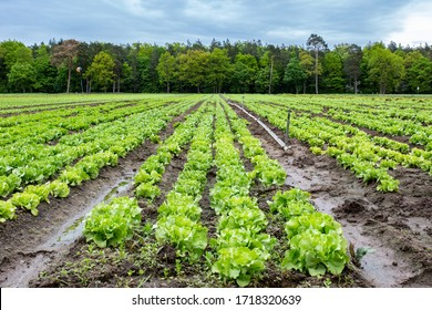 Salad on an agriculture field in spring