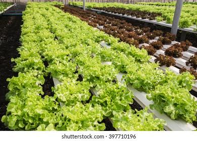 salad plantation