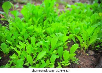 Salad planting