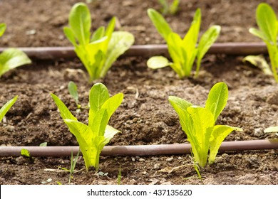 salad in a vegetable garden with irrigation system
