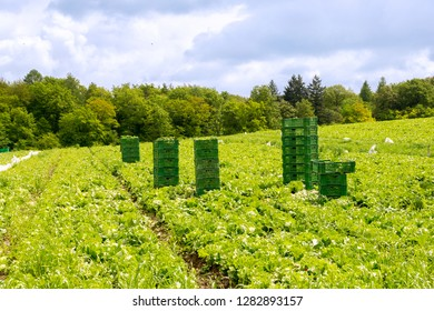 Salads harvest with plastic boxes pile in the field
