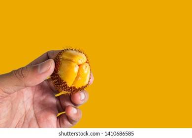Salak fruit, Salacca zalacca in hand.