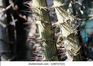 Salak (Salacca zalacca) is a species of palm tree. Amazing salacca on tree, Fresh salak cultivar Sumalee.