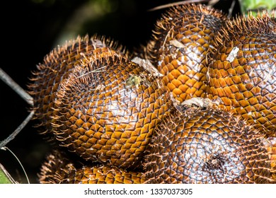 Salak (Salacca zalacca) is a species of palm tree native to Java and Sumatra in Indonesia. It is cultivated in other regions of Indonesia and Malaysia as a food crop