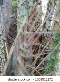Salak (Salacca zalacca) is a species of palm tree. Salacca is amazing in trees, Sumalee salak is a fresh cultivar