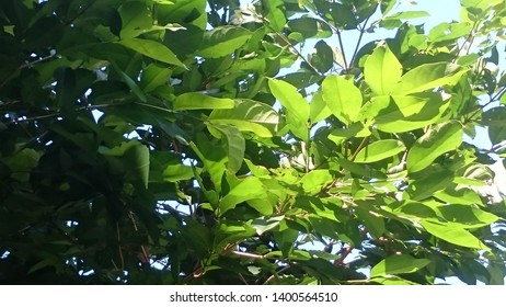 Salam is the name of a spice-producing tree used in Nusantara cuisine. In English is known as Indonesian bay-leaf or Indonesian laurel, while the scientific name is Syzygium polyanthum.