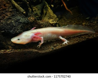A salamander is an amphibian that has four legs, a long and slender body and a long tail.