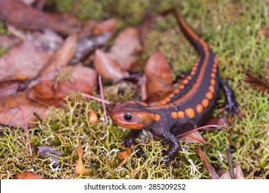 Salamander (Himalayan Newt) found in Phuluang Wildlife Sanctuary at Loei, Thailand.