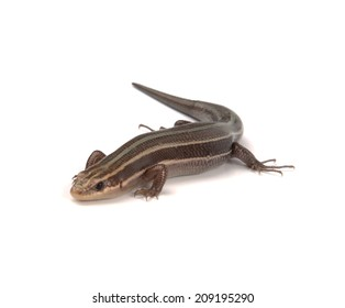 A salamander isolated on a white background.