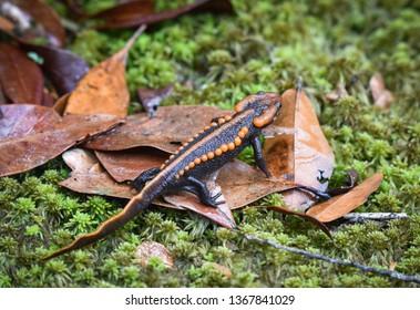 salamander on green mos/ wildlife reptile crocodile salamander spotted orange and black rare animals on high mountain rainforest - other names salamander asia ,Tylototriton verrucosus , Himalayan newt
