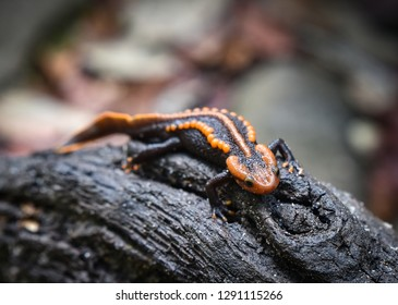 salamander on wooden logs wildlife reptile crocodile salamander spotted orange and black rare animals on mountain rainforest other names salamander asia ,Tylototriton verrucosus Himalayan