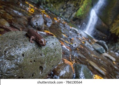 A salamander poses for the camera, photobombing an attempt to shoot the falls in Oneonta Gorge.