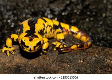 Salamander salamandra giglioli salamander pezzata amphibian