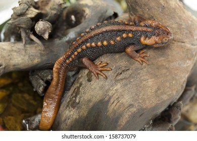 Salamander (Tylototriton verrucosus) in Thailand and Southeast asia.