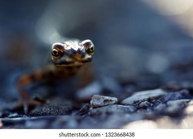 Salamander wakes up from hibernation in Dwingelderveld, the Netherlands
