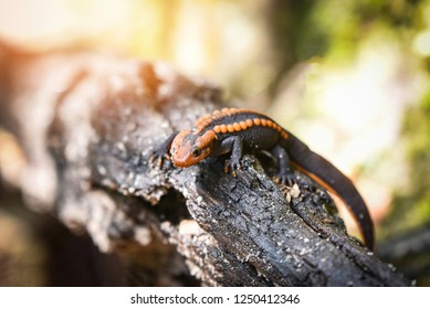 salamander wood timber / wildlife reptile crocodile salamander spotted orange and black rare animals on high mountain rainforest - other names salamander asia ,Tylototriton verrucosus , Himalayan newt