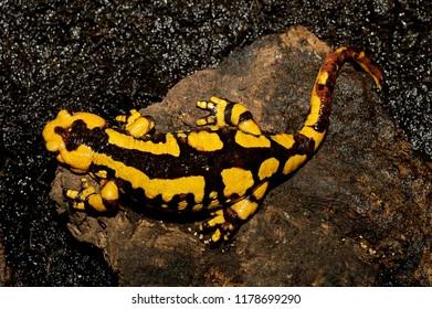 Salamandra salamandra gigliolii