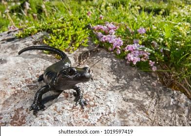 Salamandra lanzai (lanza's alpine salamander)
