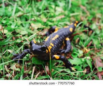 Salamandra at the stone and green grass at the Carpatian mountains