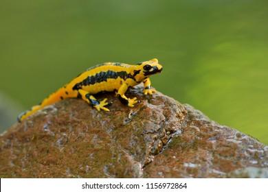 Salamandra salamandra terrestris is a salamander from the family of real salamanders (Salamandridae). It is a subspecies of the fire salamander (Salamandra salamandra).