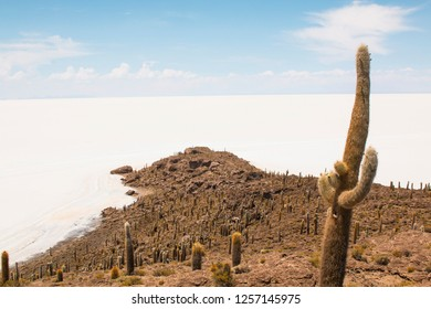 Salar de Uyuni salt plains with large cactuses of island Incahuasi, Andean Altiplano, Bolivia, South America
