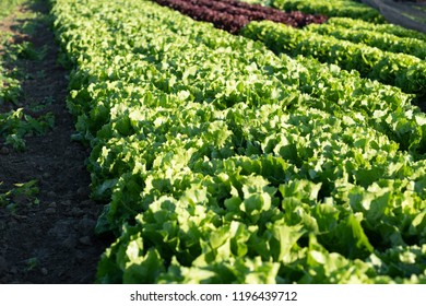 Salat field, field crop, greens, raw greens, organic farming, greens farm