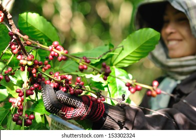 SALAVAN,LAO P D R - MARCH 2 ; Unidentified woman is harvesting coffee berries in her coffee farm at vangyawn village,March 2,2013,Lao Ngam,Salavan, Lao p d r