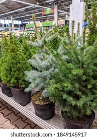sale of Christmas trees and firs in pots in a shopping center