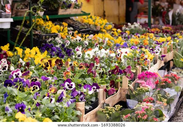 sale-seedlings-flowers-pansy-viola-600w-