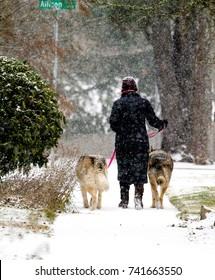 Salem, Oregon - 1/7/2017: A woman is walking her dogs during a snow storm on a sidewalk in Salem, Oregon.
