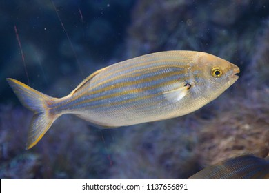 Salema porgy fish (Sarpa salpa).