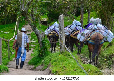 Salento, Colombia, march 17, 2018: Traditional country side man carring coffee with donkeys colombia