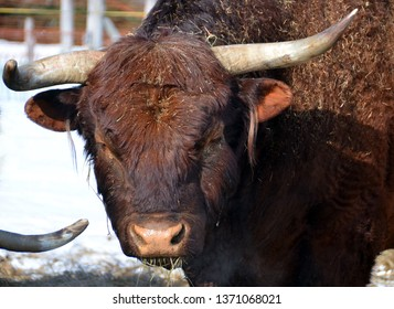 Salers is a breed of cattle which originated in Cantal in the Massif Central of France.